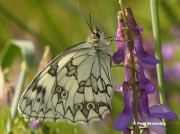 Iberian-Marbled-White-butterfly-Melanargia-lachesis-D3946