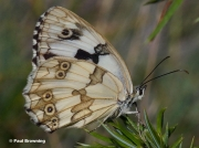Iberian-Marbled-White-butterfly-Melanargia-lachesis-D6970