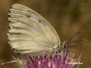 Iberian-Marbled-White-butterfly-Melanargia-lachesis-D8406