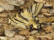 Iberian-or-Scarce-Swallowtail-Iphiclides-podalirius