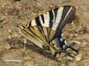 Iberian-or-Scarce-Swallowtail-butterfly-Iphiclides-podalirius