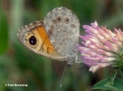 Large-Wall-Brown-butterfly-Lasiommata-maera-0001