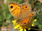 Large-Wall-Brown-butterfly-Lasiommata-maera-0644