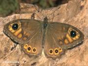 Large-Wall-Brown-butterfly-Lasiommata-maera-3379