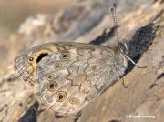 Large-Wall-Brown-butterfly-Lasiommata-maera-3386