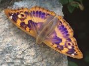 Lesser Purple Emperor butterfly (Apatura ilia)