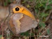 Meadow-Brown-butterfly-Maniola jurtina-3641