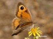 Meadow-Brown-butterfly-Maniola jurtina-8383