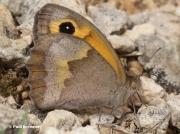 Meadow-Brown-butterfly-Maniola jurtina-3638