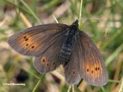 Mountain-Ringlet-butterfly-Erebia-epiphron-D5321