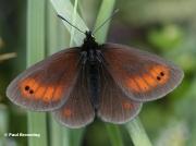Mountain-Ringlet-butterfly-Erebia-epiphron-D8101