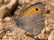 Oriental-Meadow-Brown-butterfly-Hyponephele-lupina-0941