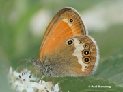Pearly-Heath-butterfly-Coenonympha-arcania-7762