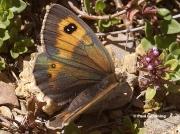 Pyrenean-Brassy-Ringlet-butterfly-Erebia-rondoui-D5349