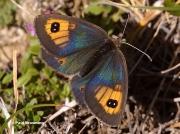 Pyrenean-Brassy-Ringlet-butterfly-Erebia-rondoui-D5361
