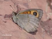 Pyrenean-Brassy-Ringlet-butterfly-Erebia-rondoui-D9824