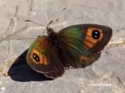 Pyrenean-Brassy-Ringlet-butterfly-Erebia-rondoui