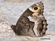 Rock-Grayling-butterfly-Hipparchia-alcyone-0447