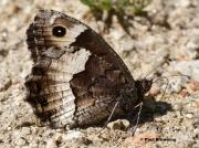 Rock-Grayling-butterfly-Hipparchia-alcyone-7175