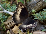 Rock-Grayling-butterfly-Hipparchia-alcyone-9003