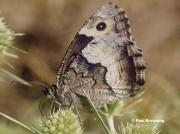 Rock-Grayling-butterfly-Hipparchia-alcyone-0454