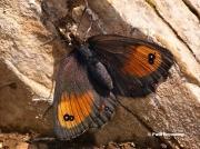 Silky-Ringlet-butterfly-Erebia-gorge-D3453