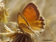 Small-Heath-butterfly-Coenonympha-pamphilus-294