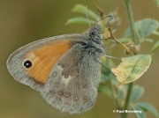 Small-Heath-butterfly-Coenonympha-pamphilus-0001-2