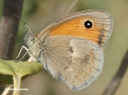 Small-Heath-butterfly-Coenonympha-pamphilus-0001