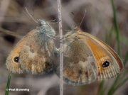 Small-Heath-butterflies-Coenonympha-pamphilus-003