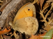Small-Heath-butterfly-Coenonympha-pamphilus-0181