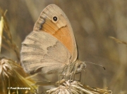 Small-Heath-butterfly-Coenonympha-pamphilus-0299