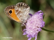 Southern-Gatekeeper-butterfly-Pyronia-cecilia-9508