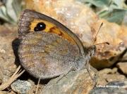Spanish-Brassy-Ringlet-butterfly-Erebia-hispania-D1634
