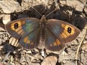 Spanish-Brassy-Ringlet-butterfly-Erebia-hispania-Spain-D2538