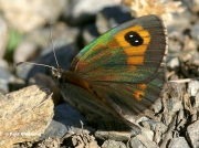 Spanish-Brassy-Ringlet-butterfly-Erebia-hispania-D2612