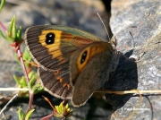 Spanish-Brassy-Ringlet-butterfly-Erebia-hispania-D2631