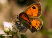 Spanish-Gatekeeper-butterfly-Pyronia-bathseba-17610