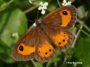 Spanish-Gatekeeper-butterfly-Pyronia-bathseba-2018
