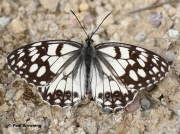 Spanish-Marbled-White-butterfly-Melanargia-ines-05619