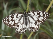 Spanish-Marbled-White-butterfly-Melanargia-ines-5622