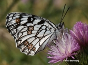 Spanish-Marbled-White-butterfly-Melanargia-ines5762