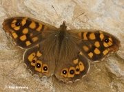 Speckled-Wood-butterfly-Pararge-aegeria-0007