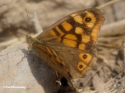 Speckled-Wood-butterfly-Pararge-aegeria-000