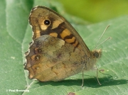 Speckled-Wood-butterfly-Pararge-aegeria-0760-