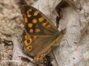 Speckled-Wood-butterfly-Pararge-aegeria-0760
