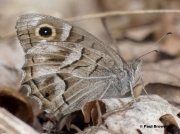 Striped-Grayling-butterfly-Psuedotergumia-fidia-0001