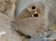 Tree-Grayling-butterfly-Niohipparchia-statilinus-0080