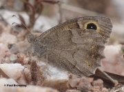 Tree-Grayling-butterfly-Niohipparchia-statilinus-0001