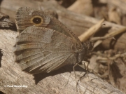 Tree-Grayling-butterfly-Niohipparchia-statilinus-168